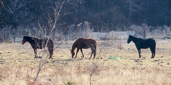 Erica Miller @togianphotog - The Saratogian.     Horses at Ann Arnold's farm on Wilton-Greenfield Road at allegedly are pregnant mares. The property is under Ann Arnold's brothers name, the facilitator of the property after the deed was transferred to him. Allegedly there are ten horses with one ready to foal anyway.    SAR-l-AnnArnold1