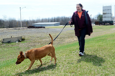 Erica Miller @togianphotog - The Saratogian:    Volunteer Michele Gawrys walked Momma at the Saratoga Animal Shelter on Thursday morning, April 17th, 2014. Momma was rescued one year ago Satruday from a drug raid in Saratoga Springs on Grand Ave.