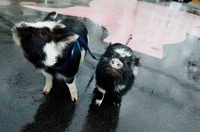 Erica Miller @togianphotog - The Saratogian.   On Wednesday morning, the day before Thanksgiving 11/27/13, Mike Fitzgerald spoke inside his store in Clifton Park at Saratoga Sweets. The stores mascot are the two adorable kunekune pigs from New Zealand named Charlie, left, and Clyde, right.   SAR-l-SarSweetPigs2