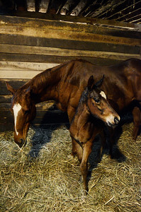 Erica Miller @togianphotog  - The Saratogian:  At the Summit View Farm in Greenwich, Glenn diSanto's farm a two week old baby colt, sired by Disco Rico, mare Longing For The One. Three babies are nestled in the farm.