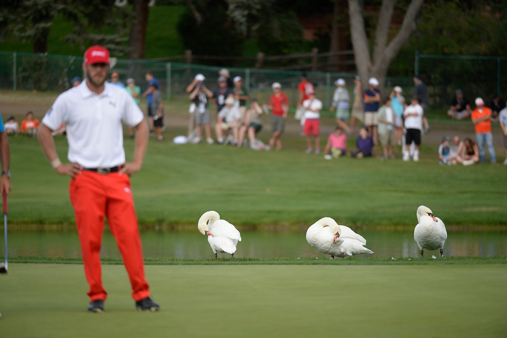 . Swans line the 17th green as  Graham DeLaet looks on during the final round of the 2014 BMW Championship September 7, 2014 at Cherry Hills Country Club. (Photo by John Leyba/The Denver Post)
