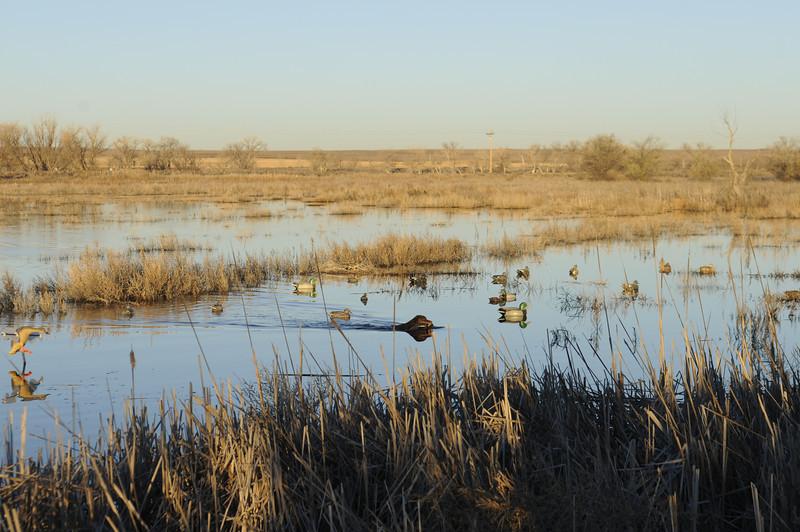 Bailey navigates through a decoy spread after retrieving a mallard hen during a duck hunt near Jackson Lake State Park last Wednesday.<br /> Scott Willoughby, The Denver Post