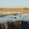 Bailey navigates through a decoy spread after retrieving a mallard hen during a duck hunt near Jackson Lake State Park last Wednesday.<br /> Scott Willoughby, The Denver Post