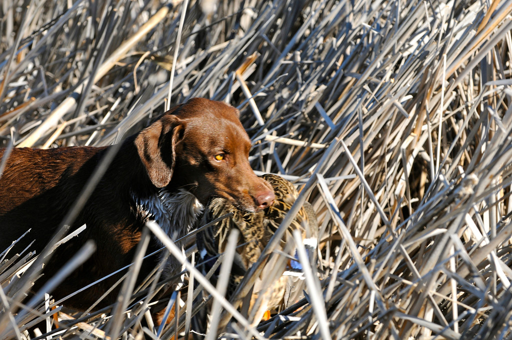 ". Bailey works her way through the reeds after retrieving a mallard hen taken during a recent duck hunt in the ""Golden Triangle\"" surrounding Jackson Lake State Park. Scott Willoughby, The Denver Post"
