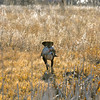 Bailey retrieves a mallard hen taken during a morning duck hunt near Jackson Lake State Park last week. More mallards have been moving through northeast Colorado as the first split for duck season nears its close on Dec. 2.<br /> Scott Willoughby, The Denver Post