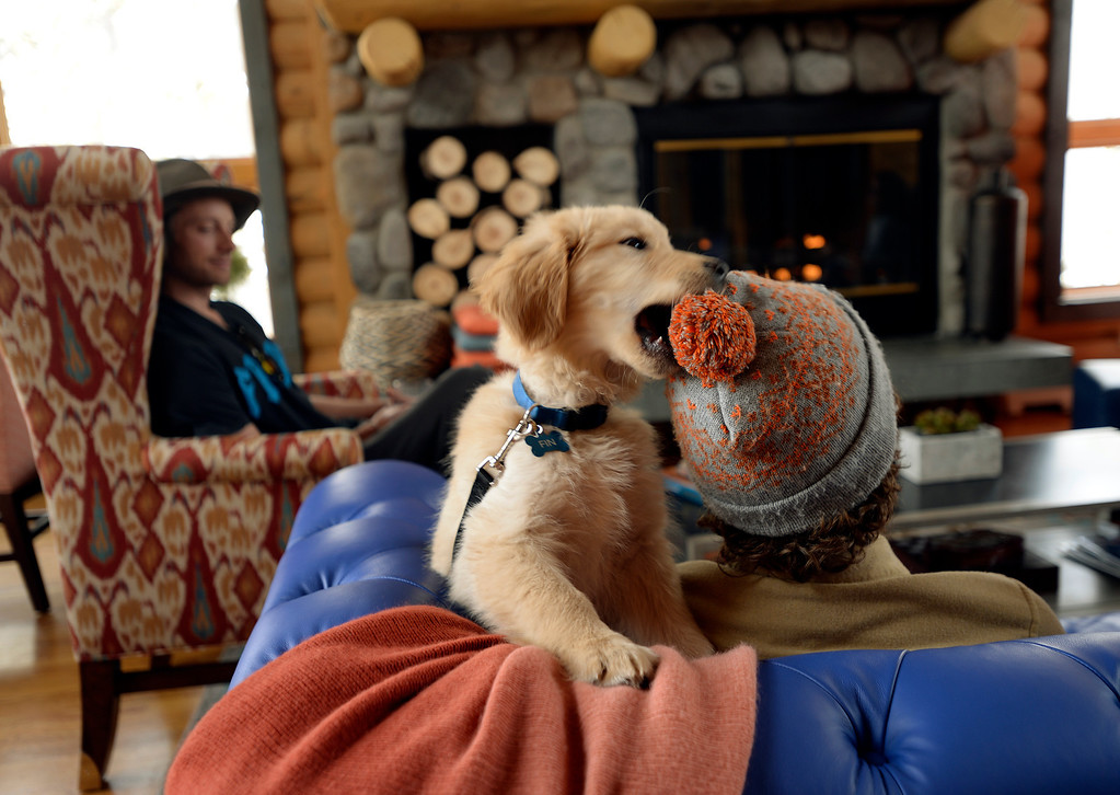 ". Fin, the golden retriever puppy who serves as The Bivvi\'s unofficial mascot, chews on Bond Camp\'s knit hat as Worthy MCormick, left, looks on in The Bivouac a newly opened hostel in Breckenridge, Colorado on Tuesday, February 11, 2014. ""The Bivvi\"" was just renovated into an upscale hostel from a B&B.  The hostel\'s  atmosphere encourages it\'s guests to mingle in the lobby.  (Denver Post Photo by Cyrus McCrimmon)"
