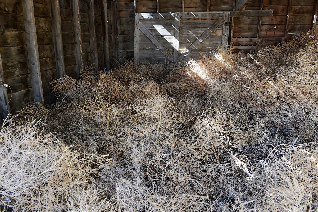 . HASWELL, CO - MAY 29:  Tumbleweeds occupy this open barn/shed  in the small town of Haswell Colorado Wednesday May 29, 2013. The Intel Corporation, an American multi-national semiconductor computer chip maker, has codenamed their latest and greatest new chip after the small town of Haswell.  (Photo By Andy Cross/The Denver Post)