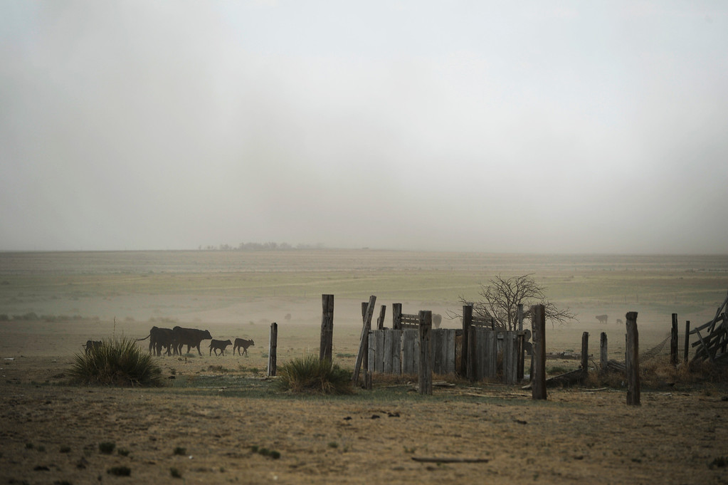 . HASWELL, CO - MAY 29:  Cows walk along as a gust of wind kicks up dust on a farm in Haswell, Colorado Wednesday May 29, 2013. The Intel Corporation, an American multi-national semiconductor computer chip maker, has codenamed their latest and greatest new chip after the small town of Haswell.  (Photo By Andy Cross/The Denver Post)