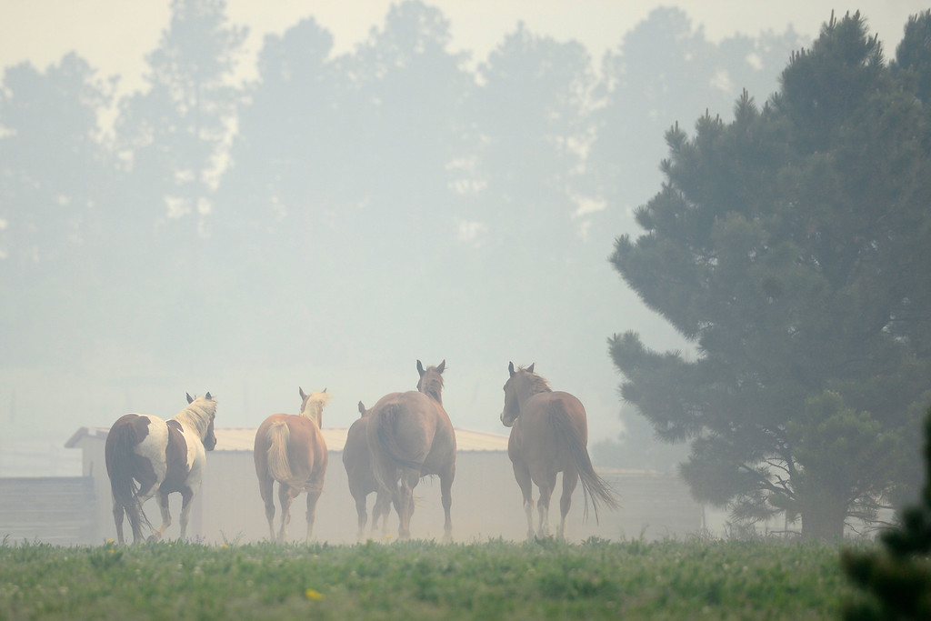 . COLORADO SPRINGS, CO - JUNE 13: Horse run as wind blows smoke into its pasture as the Black Forest fire burns east of Colorado Springs. (Photo by AAron Ontiveroz/The Denver Post)