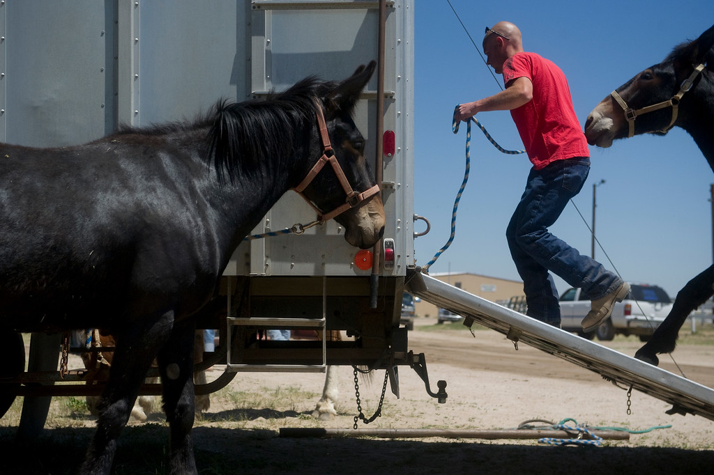 . Billy Holschuh pulls a mule into a trailer at the Elbert County Fairgrounds on Saturday, June 15, 2013.  (Photo By Grant Hindsley / The Denver Post)
