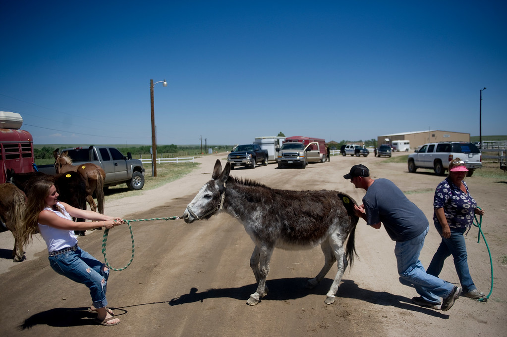 . Megan Geipel, left, Billy Holschuh, and Pam Holschuh attempt to put Cricket, a 40 year-old donkey, in a trailer at Elbert County Fairgrounds on Saturday, June 15, 2013. The Holschuh\'s brought 21 mules and donkeys to the fairgrounds as a preventative measure during their voluntary evacuation due to the Black Forest Fire. Animals were held at the fairgrounds until owners could retrieve them. (Photo By Grant Hindsley / The Denver Post)