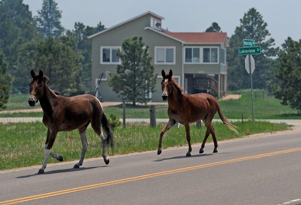 . COLORADO SPRINGS, CO - JUNE 12: Animal Welfare officers from Pueblo Animal Services, their trailer is just out of view, lure a horse and a mule behind their trailer to get them out of harms way along Herring Road in the midst of the Black Forest on June 12, 2013. The duo stayed close to their house on Herring Road to make sure they could watch the fire and leave if needed. So far the fire has moved east of their house, but the Black Forest fire continues to burn and has yet to have any containment.   Photo by Helen H. Richardson/The Denver Post)