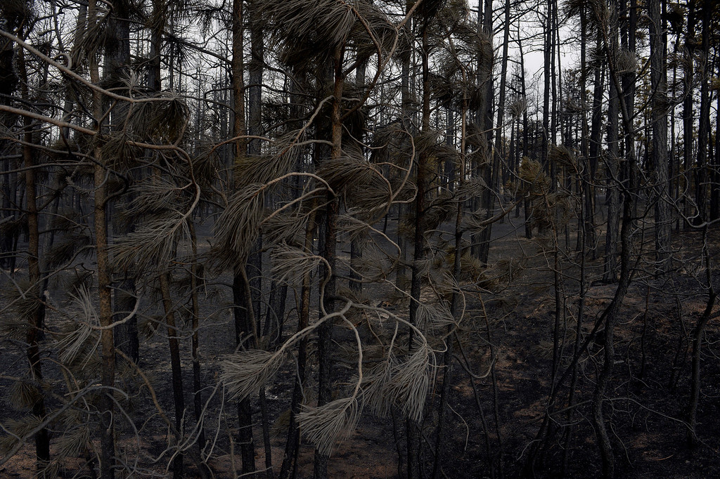 . BLACK FOREST, CO - JUNE 13:   Burned needles on pine trees and landscape show some of the scope of the loss in the midst of the Black Forest Fire on June 13, 2013.  Photo by Helen H. Richardson/The Denver Post)