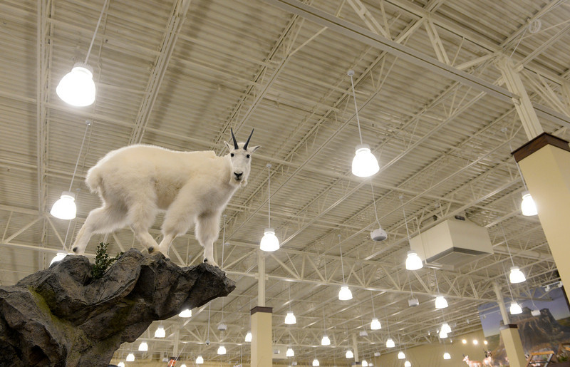 . A taxidermy mountain goat is one of several taxidermy animals on display at the new Cabela\'s in Thornton, July 30, 2013. Cabela\'s held a media preview in advance of the opening of its two new stores in Thornton and Lone Tree on August 15. (Photo By RJ Sangosti/The Denver Post)
