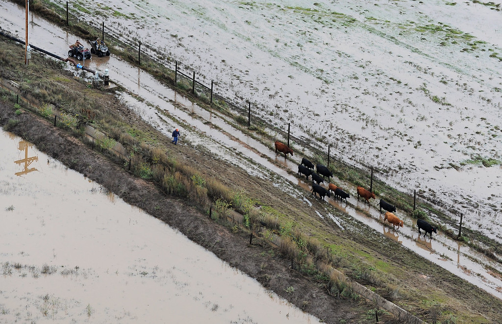 . Unidentified men on ATV\'s herd cattle from flooded pastors to safety outside Milliken. makes his way through pastureland outside Milliken. Aerial photographs of the South Platte River flooding cities and farms in Weld County Colorado. (Photo By Tim Rasmussen/The Denver Post)