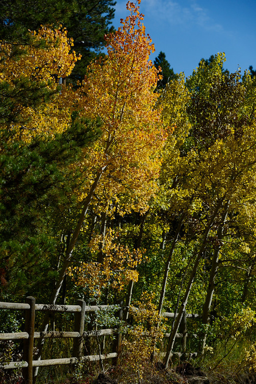 . ALLENSPARK, CO - SEPTEMBER 28: Aspen trees changing colors along Cabin Creek Rd. near highway 7  Saturday morning, September 28, 2103. (Photo By Andy Cross/The Denver Post)