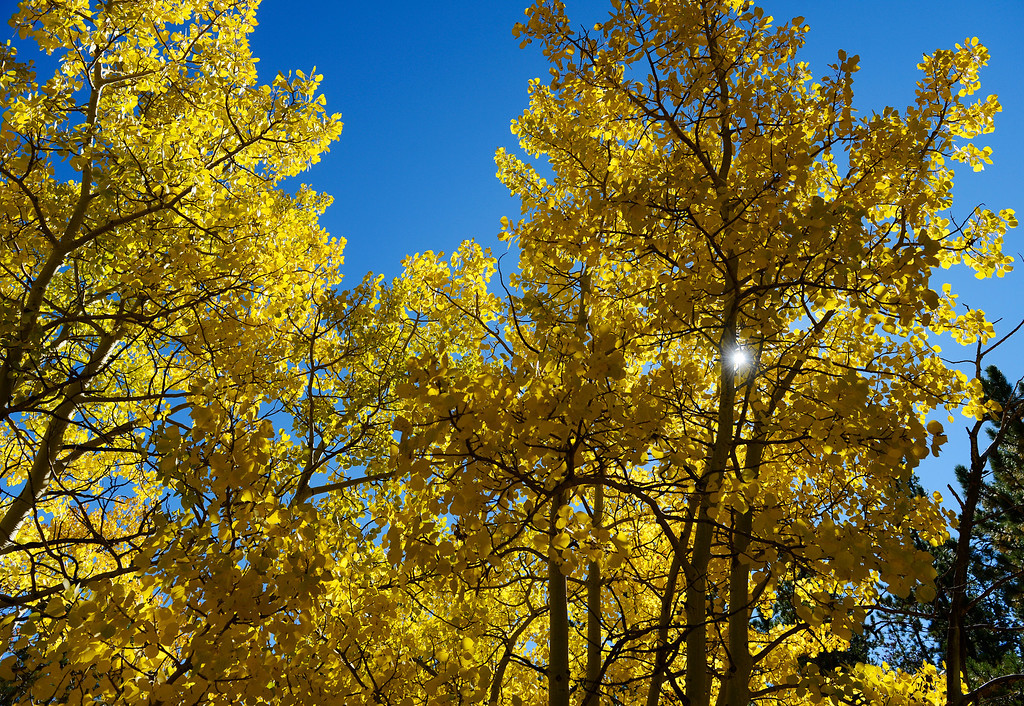 . ALLENSPARK, CO - SEPTEMBER 28: Aspen trees showing off their fall colors  along Cabin Creek Rd. near highway 7  Saturday morning, September 28, 2103. (Photo By Andy Cross/The Denver Post)