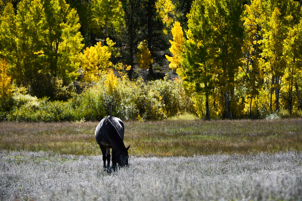 . BOULDER COUNTY, CO - SEPTEMBER 28: A horse grazes in a field neat Boulder County Rd. 82E near highway 7 Saturday morning, September 28, 2103. (Photo By Andy Cross/The Denver Post)