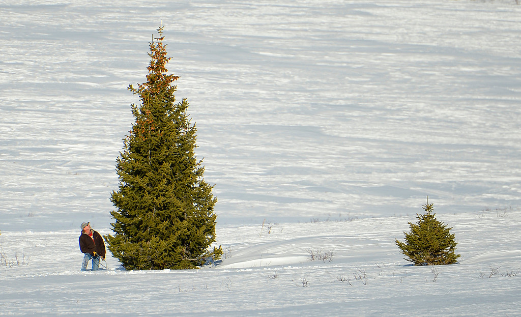 . Dave Brown, of Steamboat Springs, hunts for the perfect Christmas tree in the Routt National Forest, December 19, 2013. Brown after looking at the tree for a few minutes decided that there was no way he would be able to drag this tree back to his truck, and continued his hunt. (Photo by RJ Sangosti/The Denver Post)