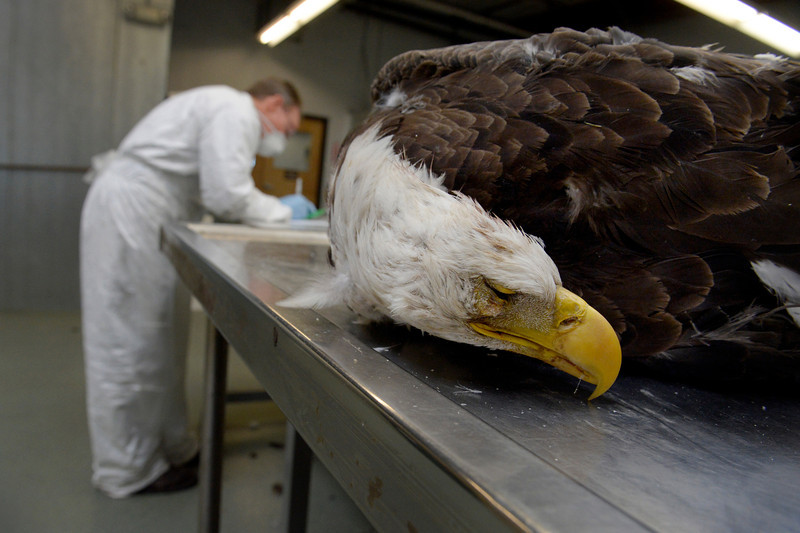 . Wildlife repository specialist Dennis Wiist evaluates a bald eagle at the National Eagle Repository in Commerce City, CO February 27, 2014.  The Native American Eagle Feather Program is operated by U.S. Fish & Wildlife Service at the Rocky Mountain Arsenal. Native Americans enrolled in federally recognized tribes can apply to receive eagle feathers, up to a whole bird, for religious purposes. Supervisor Bernadette Atencio said the repository receives over 2,300 eagles, in varying conditions, a year. The birds are processed and the head, talons, trunk, tail, wings and feathers are evaluated before being distributed. (Photo By Craig F. Walker / The Denver Post)