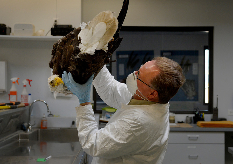 . Wildlife repository specialist Dennis Wiist evaluates a bald eagle at the National Eagle Repository in Commerce City, CO February 27, 2014. (Photo By Craig F. Walker / The Denver Post)