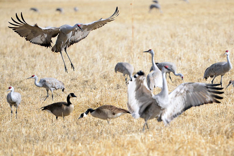 . Colorado\'s San Luis Valley revels every spring as 20,000 Sandhill cranes hang out for a month at the Monte Vista National Wildlife - an established artificial haven where people place barley and pump up water from underground aquifers to create the massive marshes the birds need to gain energy for the migration north. The cranes eat and gain strength for breeding up north in Idaho, Montana and Wyoming. A new Colorado rule limiting pumping of aquifer water in San Luis Valley could endanger the habitat. (Photo By Lindsay Pierce/The Denver Post)