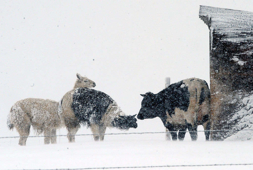 . Two Llamas and a cow brave the heavy spring snow storm that hit the south side of the metro area hard Thursday morning, April 3, 2014. (Photo by Steve Nehf / The Denver Post)