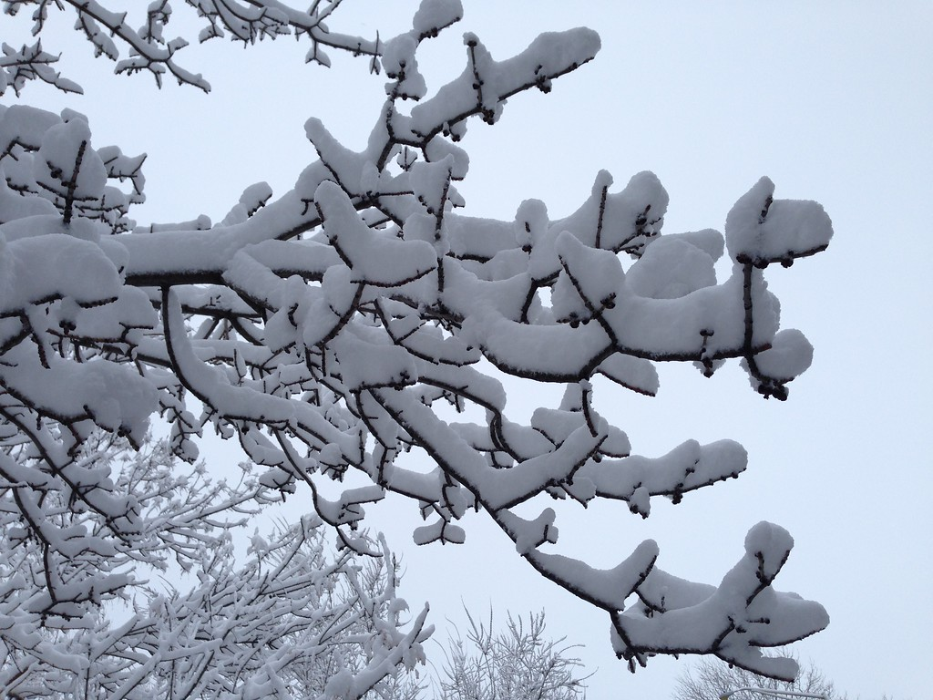. Snow covered branches in Arvada Thursday morning, April 3, 2014. (photo by Joe Amon/The Denver Post)