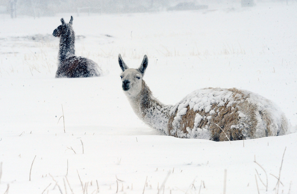 . Two Llamas hunker down during a heavy spring snow storm that hit the south side of the metro area hard Thursday morning, April 3, 2014. (Photo by Steve Nehf / The Denver Post)