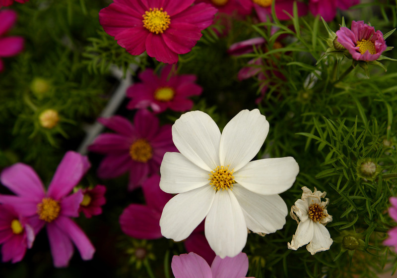 . Colorful cosmos are for sale during Denver Botanic Gardens annual spring plant sale, May 09, 2014. The sale will go through Saturday. (Photo by RJ Sangosti/The Denver Post)
