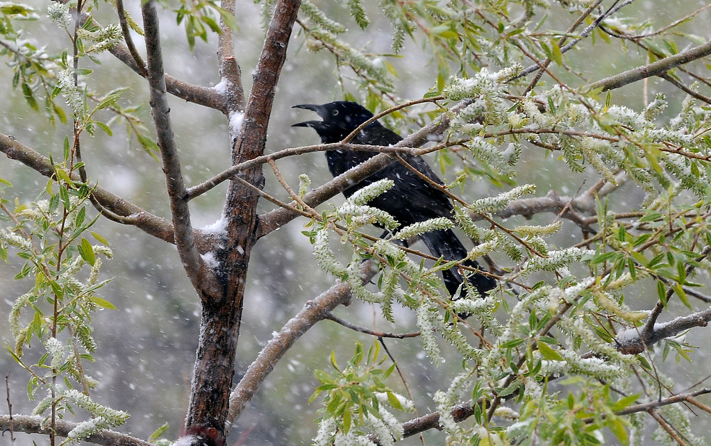 . Spring and winter collide as a heavy wet snowstorm hit Colorado on Mothers day covering blooms, blossoms and had birds looking for cover. (Photo By Steve Nehf / The Denver Post)