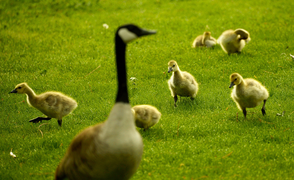 . A gaggle of goslings huddle follow their mother to the water at Washington Park in Denver, May 15, 2014.  (Photo by RJ Sangosti/The Denver Post)