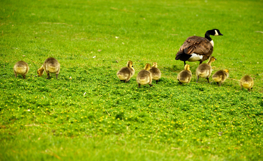 . A gaggle of goslings huddle follow their mother to the water at Washington Park in Denver, May 15, 2014. The goslings will feed on the parks grass much of the day to gain strength. (Photo by RJ Sangosti/The Denver Post)
