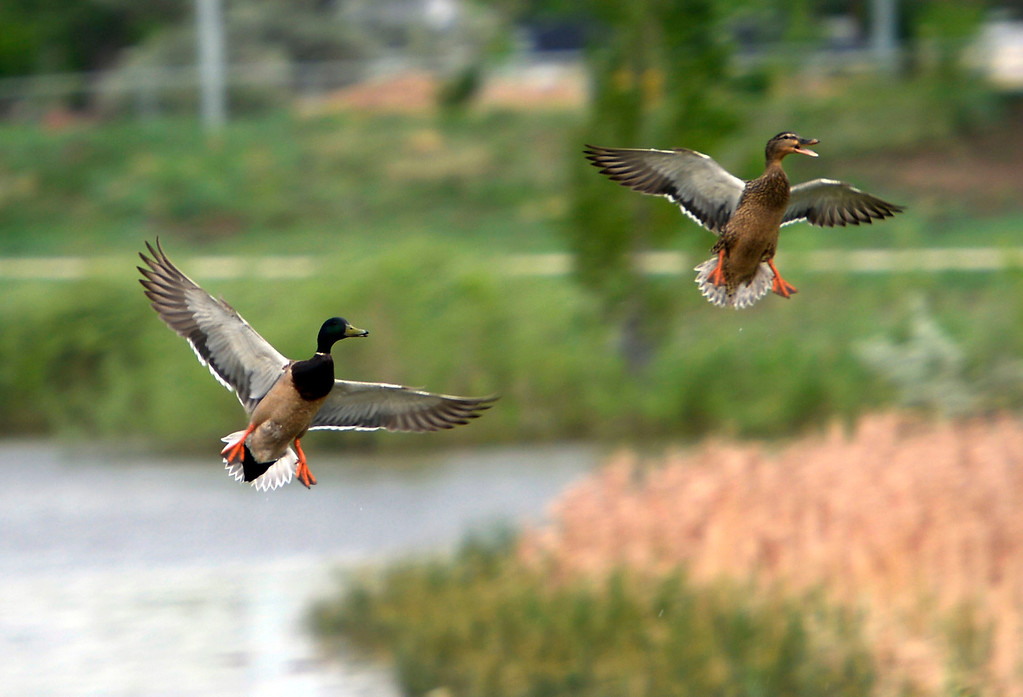 . These ducks take flight to chase each other at Barnum park. Flooding cause the closure of the bike paths at Barnum Park May 25, 2014 as more weather threatens the area. Orange cones have been put in place on the paths. (Photo by John Leyba/The Denver Post)