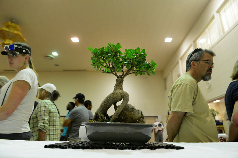 . A Fig tree on display from the Denver Bonzai Club inside the Denver Buddhist Temple for the annual Cherry Blossom Festival at the Sakura Square Saturday afternoon, June 28, 2014. The festival, which runs through Sunday 11-4 pm, showcases the Japanese American Culture that includes traditional dances, music, various demonstrations, and food. (Photo By Andy Cross / The Denver Post)