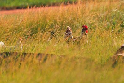Chicken Safari