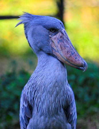 A very prehistoric looking shoebill stork