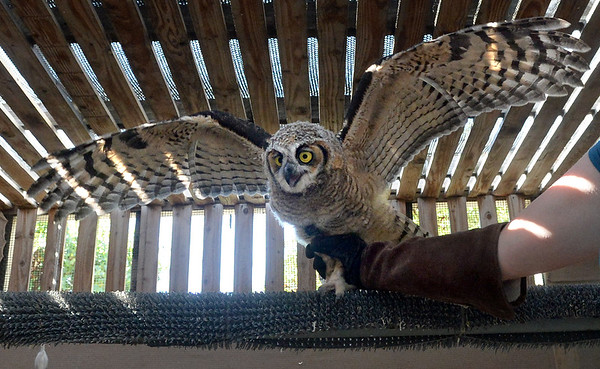 . A young great horned owl is placed on a perch at Wild Care in San Rafael, Calif. on Friday, Aug. 17, 2018. The owl was found caught in the net of a soccer goal at Edna Maguire Elementary School in Mill Valley.  (Alan Dep/Marin Independent Journal)