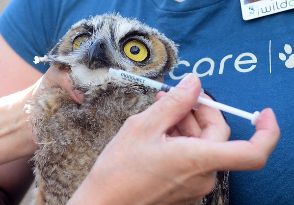 . Wild Care veterinarian Juliana Sorem gives medicine to a juvenile great horned owl at Wild Care in San Rafael, Calif. on Friday, Aug. 17, 2018. The owl was found caught in the net of a soccer goal at Edna Maguire Elementary School in Mill Valley. (Alan Dep/Marin Independent Journal)