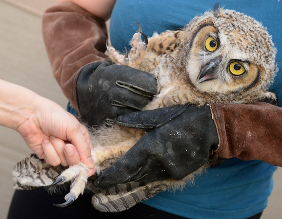 . Wild Care veterinarian Juliana Sorem checks the feet of a juvenile great horned owl as wildlife technician Jacqueline Lewis holds the bird at Wild Care in San Rafael, Calif. on Friday, Aug. 17, 2018. The owl was found caught in the net of a soccer goal at Edna Maguire Elementary School in Mill Valley.  (Alan Dep/Marin Independent Journal)