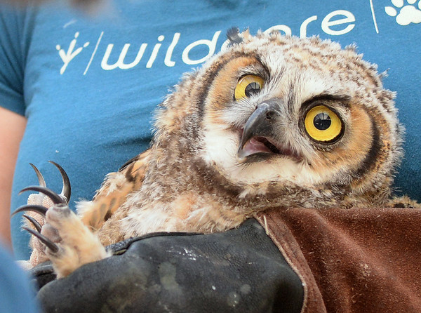 . Wild Care wildlife technician Jacqueline Lewis holds a young great horned owl at Wild Care in San Rafael, Calif. on Friday, Aug. 17, 2018. The owl was found caught in the net of a soccer goal at Edna Maguire Elementary School in Mill Valley.  (Alan Dep/Marin Independent Journal)