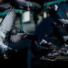 1 9 20 Lynn Pigeon standalone