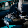 1 9 20 Lynn Pigeon standalone 1