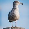 STANDALONE 1 19 21 Saugus seagull