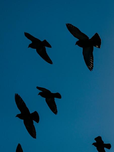 1 24 20 Lynn pigeon standalone