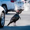 1 30 20 Swampscott Vinnie the Turkey