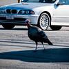 1 30 20 Swampscott Vinnie the Turkey 2