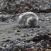 Nahant010919-Owen-sleeping seal02