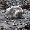 Nahant010919-Owen-sleeping seal01