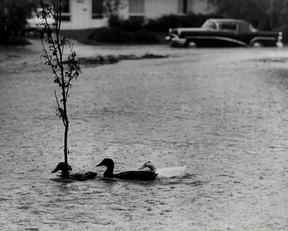 . JUN 8 1969  Three sodden ducks, apparently flooded out of  their homes in nearby lakes, take up temporary residence at the intersection of E. Cornell Ave. and S. Ogden St. during  Sunday\'s downpour. The overabundance of water, only too typical of the area early this week, may become so again, if the forecasts prove to be accurate.  (Dave Buresh/ The Denver Post)